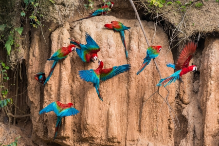 macaws in clay lick in the peruvian Amazonian jungle at Madre de Dios photo