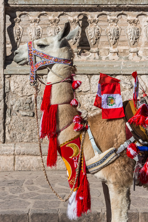 Llama with peruvian flags in the peruvian Andes at Arequipa Peru photo