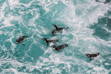 Humboldt penguins swimming in the peruvian coast at Ica Peru photo