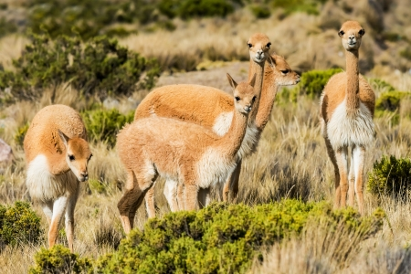 andean: Vicunas in the peruvian Andes at Arequipa Peru Stock Photo