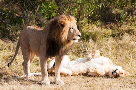 female and male Lion in the Masai Mara reserve in Kenya Africa photo