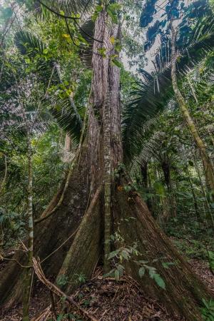 peru amazon: big tree in the peruvian Amazon jungle at Madre de Dios Peru
