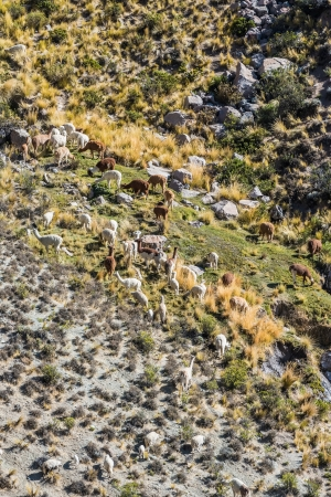 vicugna pacos: livestock in the peruvian Andes at Arequipa Peru