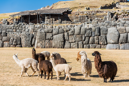 Alpacas at Sacsayhuaman, Incas ruins in the peruvian Andes at Cuzco Peru photo