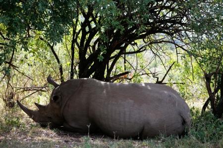 White Rhinoceros resting in the Masai Mara reserve in Kenya Africa photo