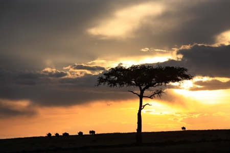 wildebeest at sunset in the beautiful plains of the Masai Mara reserve in Kenya Africa photo