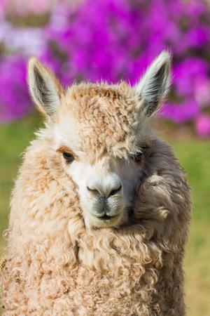 peru: alpaca portrait in the peruvian Andes at Cuzco Peru Stock Photo