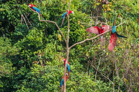 peru amazon: flock of macaws standing in a three in the peruvian Amazon jungle at Madre de Dios Peru