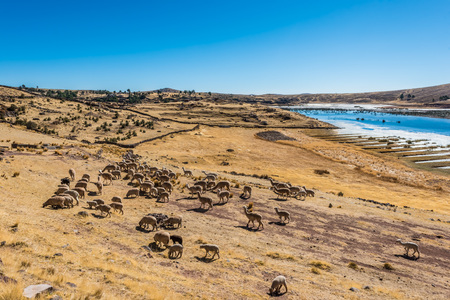 livestock in the peruvian Andes at Puno Peru photo