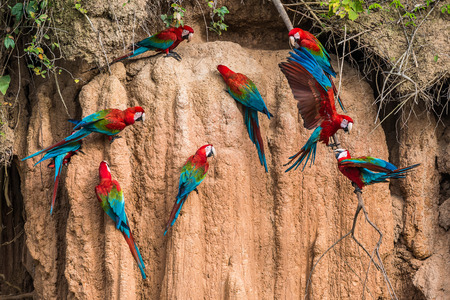 macaws in clay lick in the peruvian Amazon jungle at Madre de Dios Peru Standard-Bild
