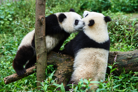 panda bear: two Panda bears cubs playing Bifengxia base reserve Sichuan China