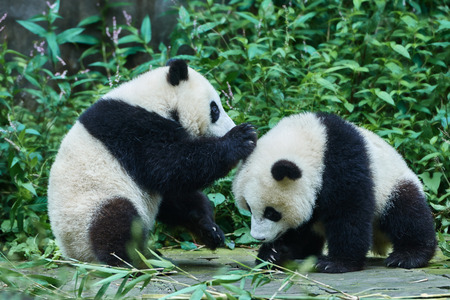 cubs: two Panda bears cubs playing Bifengxia base reserve Sichuan China