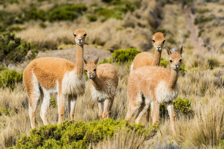 andes: Vicunas in the peruvian Andes at Arequipa Peru Stock Photo