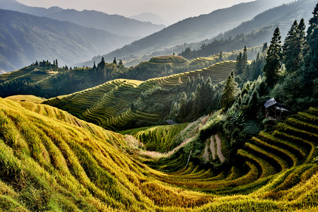 rice paddy: rice terraced fields of Wengjia longji Longsheng Hunan China