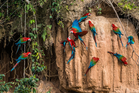 macaws in clay lick in the peruvian Amazon jungle at Madre de Dios Peru 스톡 콘텐츠
