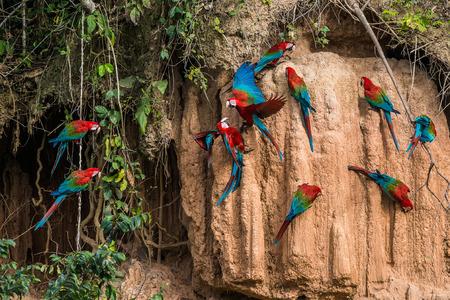 macaws in clay lick in the peruvian Amazon jungle at Madre de Dios Peru Foto de archivo