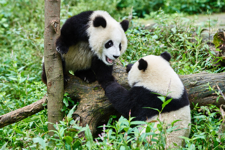 cubs: two Panda bears cubs playing Sichuan China forest