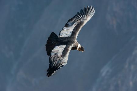 アレキパ ペルー ペルーのアンデスでコルカ渓谷で飛んでアンデス コンドル 写真素材 - 36355573