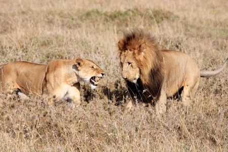 female lion: female and male Lion in the Masai Mara reserve in Kenya Africa