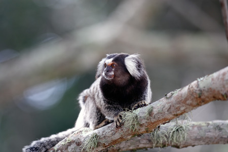 marmoset: mico sagui Black-tufted Marmoset Callithrix penicillata, also known as the Black-pencilled Marmoset in ilha grande brazil