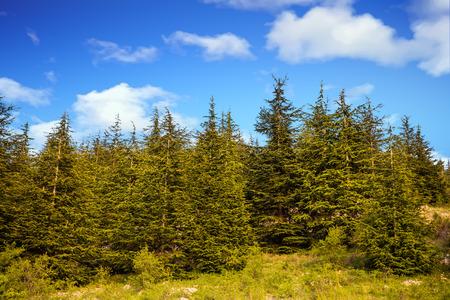 cedro: árboles de Al Shouf Cedar Reserva Natural Barouk en el monte Líbano Oriente Medio Foto de archivo