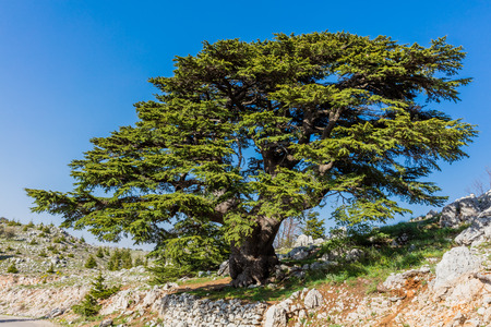 trees of Al Shouf Cedar Nature Reserve Barouk  in mount Lebanon Middle east Stock Photo - 84599473