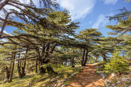 마운트 레바논 중동 Al Shouf 삼나무 자연 보호구 Barouk의 나무 스톡 콘텐츠