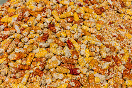 Cereals Corns harvest  drying Caldas in Colombia South America