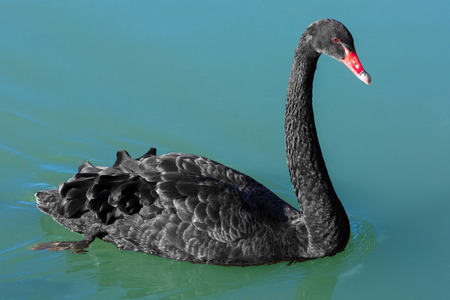 Black Swan in the National Kandawgyi Gardens  Pyin Oo Lwin Mandalay state Myanmar (Burma) Stock Photo