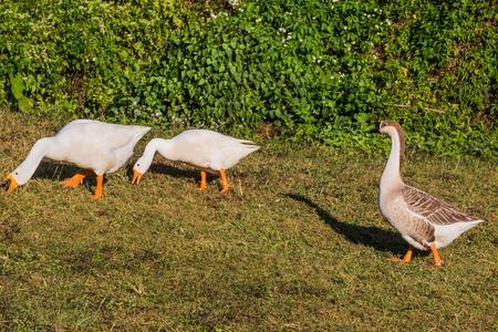 Gooses birds in the National Kandawgyi Gardens  Pyin Oo Lwin Mandalay state Myanmar (Burma)