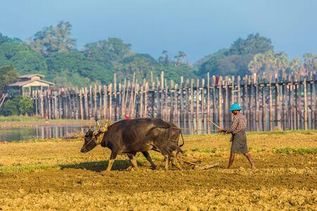U BEIN BRIDGE, MYANMAR - NOVEMBER 28, 2016 : plowman at U Bein Bridge Taungthaman Lake Amarapura  Mandalay state Myanmar (Burma)
