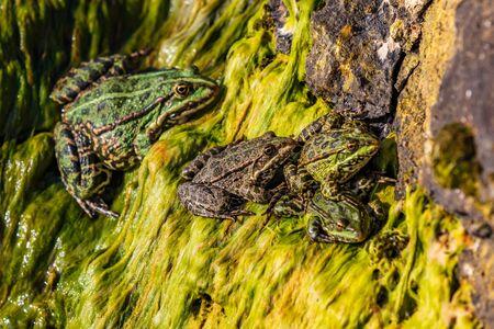 frogs of Lake Sevan landmark of Gegharkunik Armenia eastern Europe