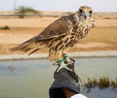 falcon bird Falconry hunt Qatar Standard-Bild