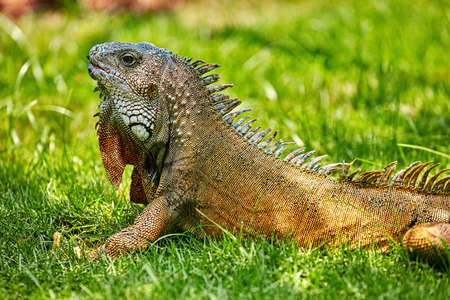 Iguanas of Seminario Park landmark of Guayaquil Ecuador in south america Stock Photo - 150978917
