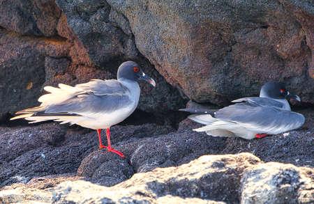swallow tailed gull Creagrus furcatus north seymour island Galapagos Ecuador