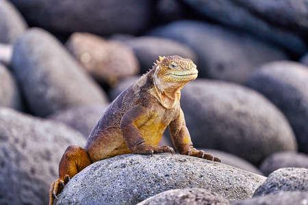 land iguana north seymour island Galapagos Ecuador Stock Photo