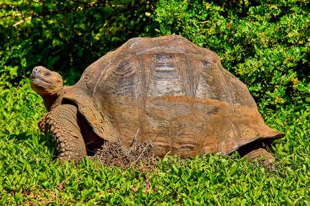 giant turtle santa cruz island Galapagos Ecuador Stock Photo - 151531059