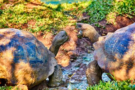 giant turtle santa cruz island Galapagos Ecuador
