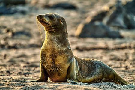 sea lion cub beach Galapagos Ecuador Stock Photo - 151530842