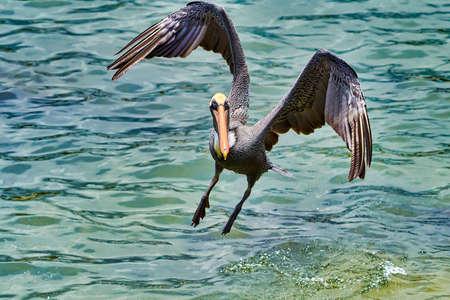 Pelican san cristobal Galapagos Ecuador