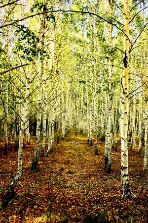 birch forest series Stock Photo