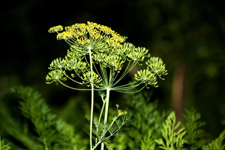 fennel shoots