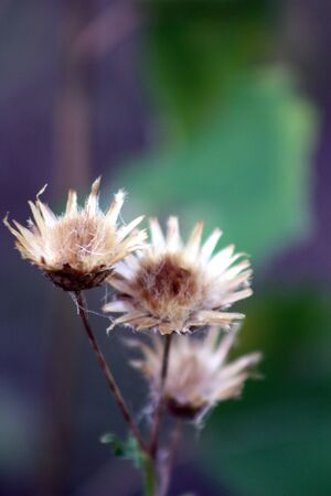 withering flower photo