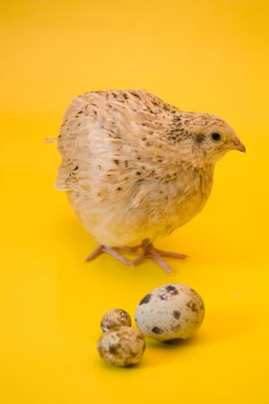 quail bird on a yellow background with quail eggs Stock Photo
