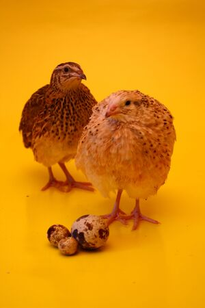 Two male and female quail on a yellow background