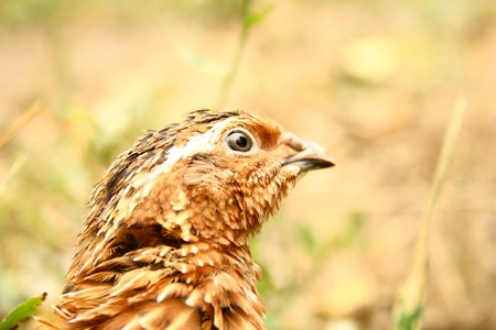 portrait of quail in the nature