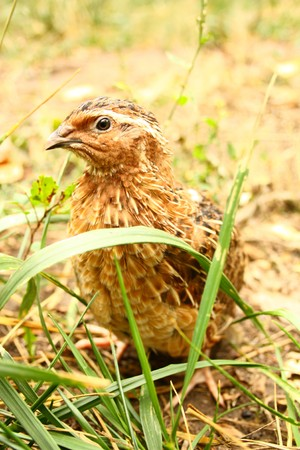 quail in the grass on the nature of poultry