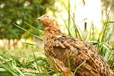 quail in the grass on the nature of poultry Stock Photo - 7661277
