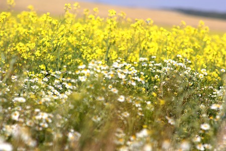 chamomile drug on rapeseed field