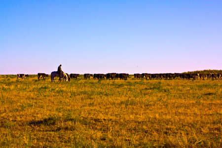 general plan herds of cows and a shepherd Stock Photo - 7734898